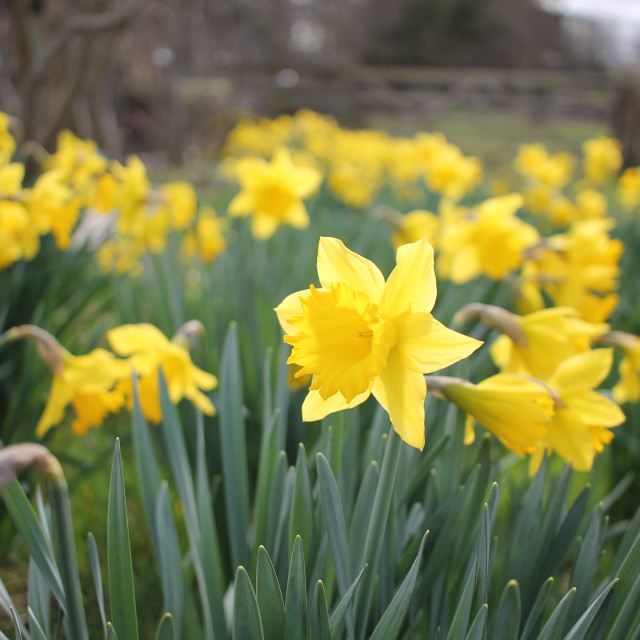 """""""Field of Daffodils"""" stock image"""