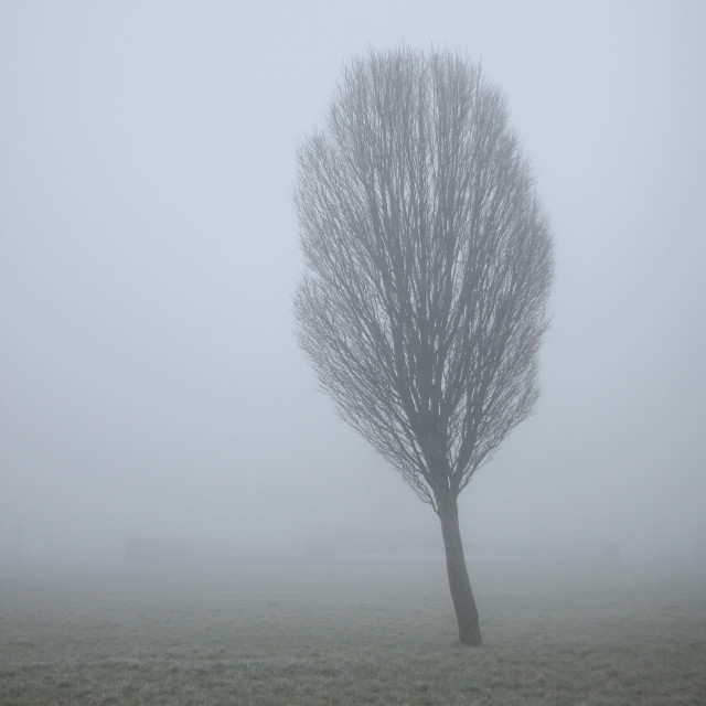 """""""Bare tree in thick fog"""" stock image"""