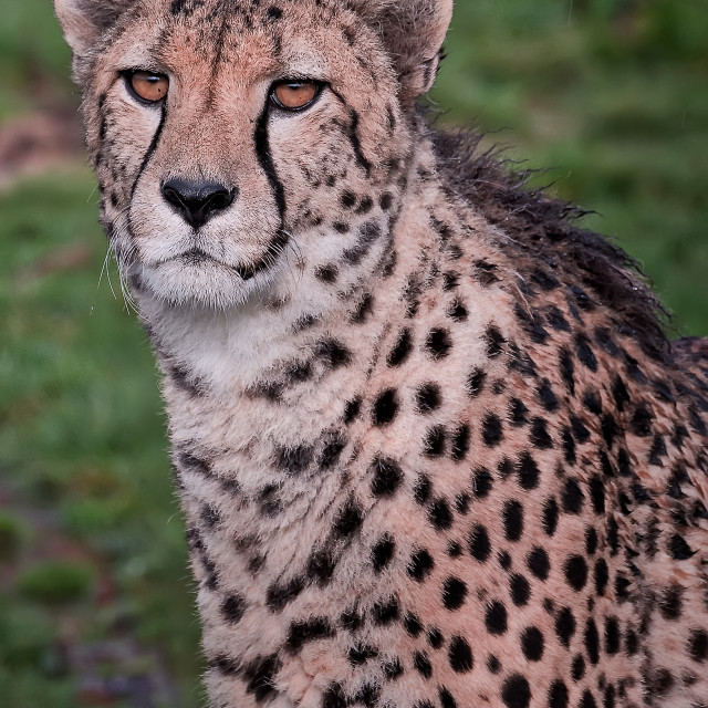"""Cheetah portrait"" stock image"