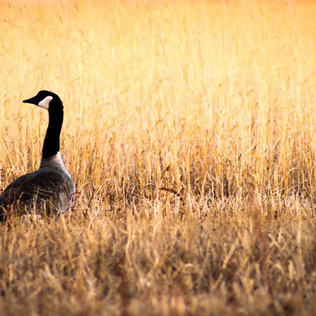 """Canada Goose Loner"" stock image"