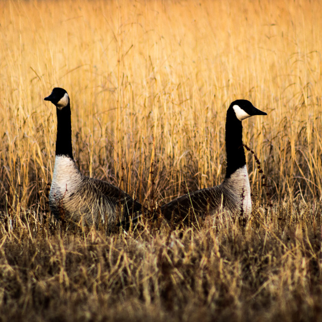 """Canada Geese"" stock image"