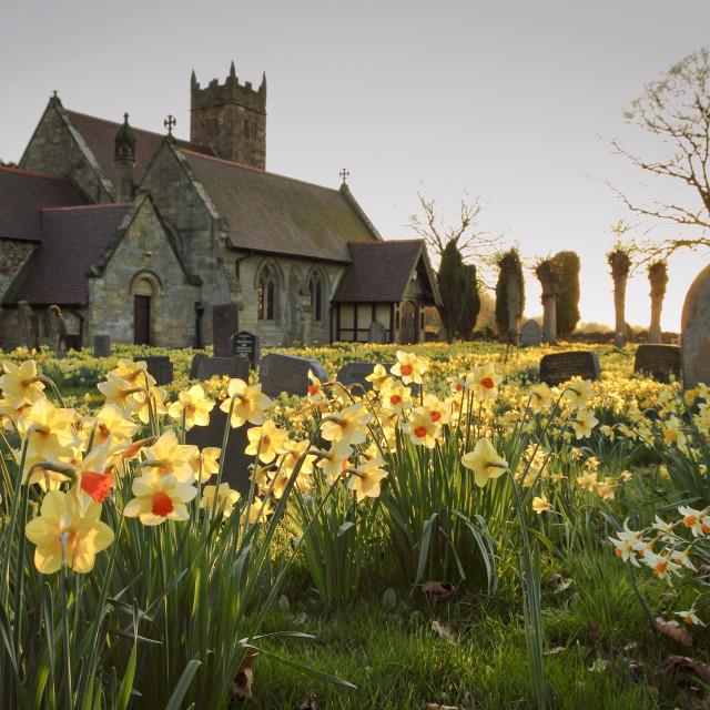 """Spring Daffodills"" stock image"