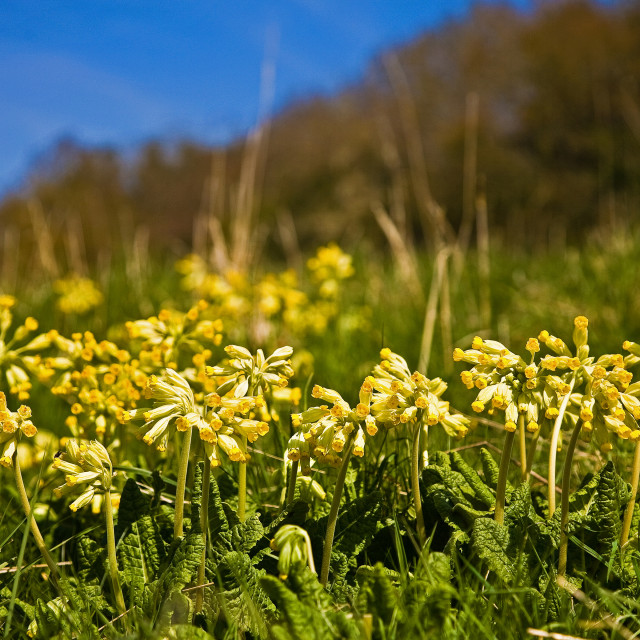 """Cowslips in Spring"" stock image"