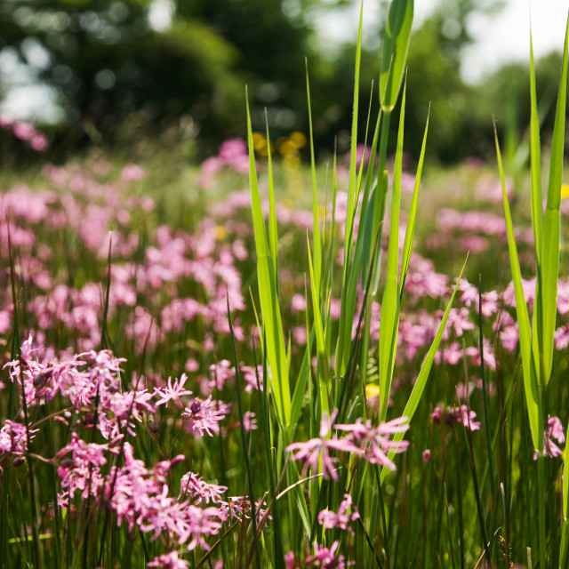"""""""Ragged-Robin and Reeds"""" stock image"""