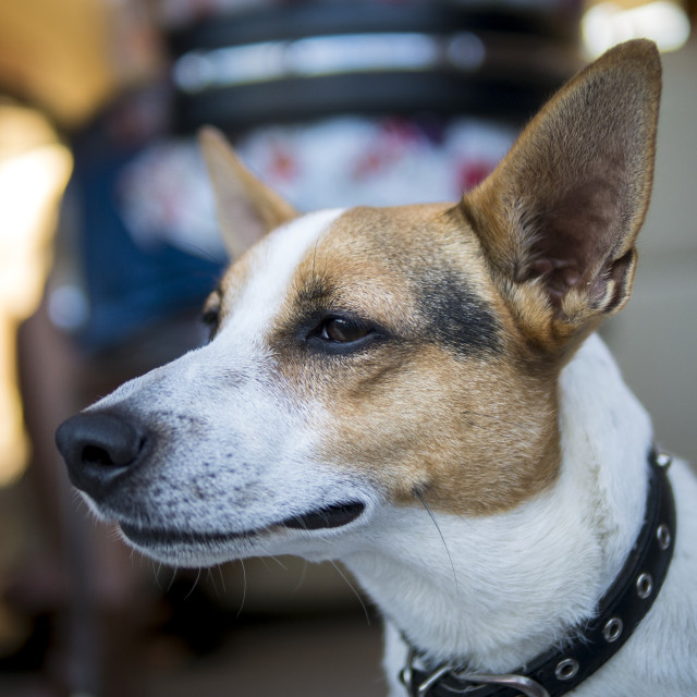 """Jack Russell Terrier Dog5"" stock image"