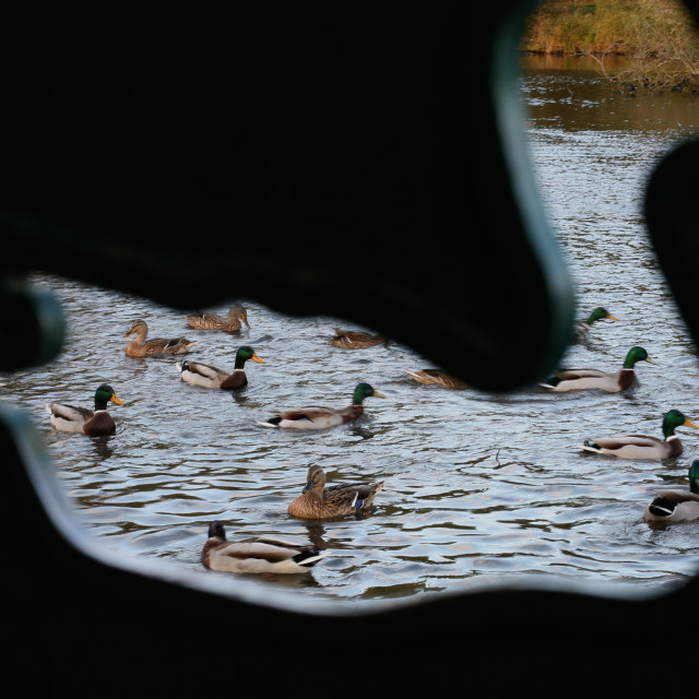 """Ducks Through a Duck-Shaped Hole"" stock image"