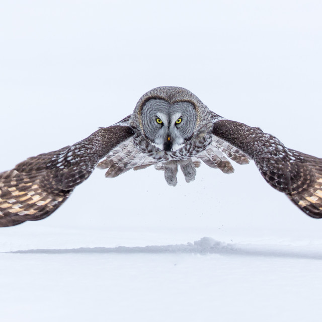 """Great Grey Owl hunting in the snow"" stock image"