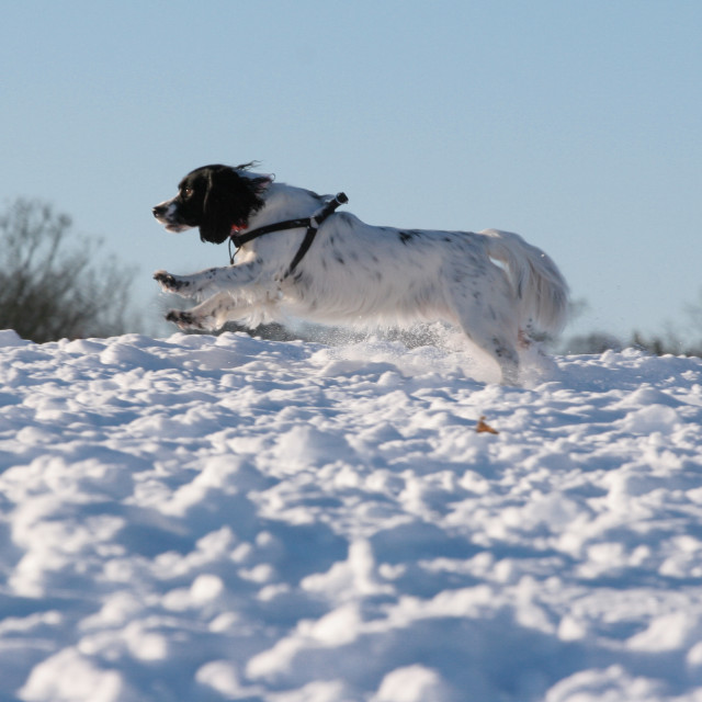 """Leaping Snow Dog"" stock image"
