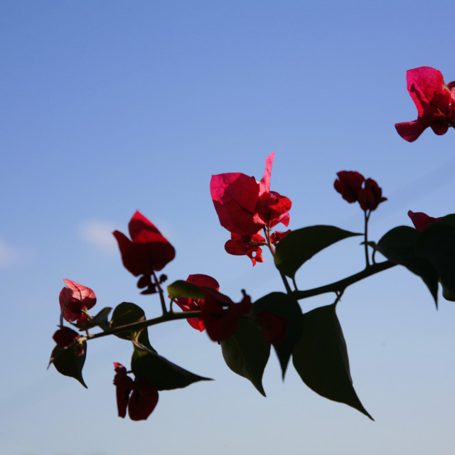 """Pink Flowers Against Blue Sky"" stock image"