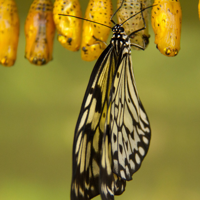"""butterfly cocoon"" stock image"