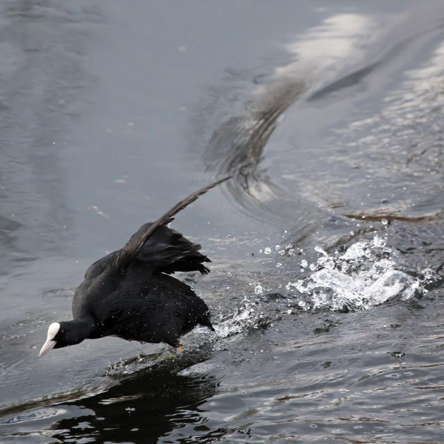 """""""Coot."""" stock image"""