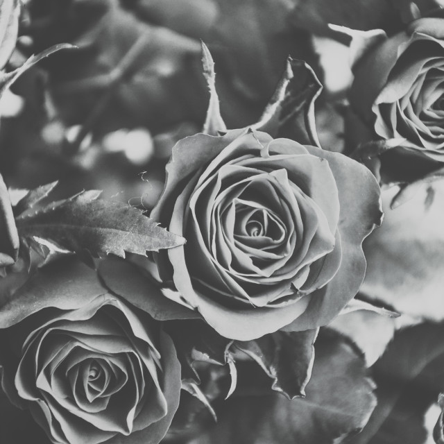 """Grey Rose"" stock image"