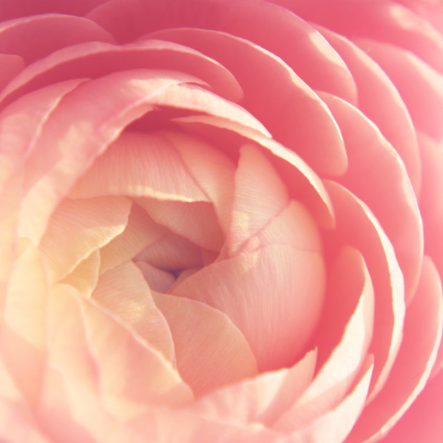 """pink rose"" stock image"