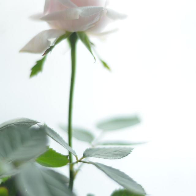 """Pure rose"" stock image"
