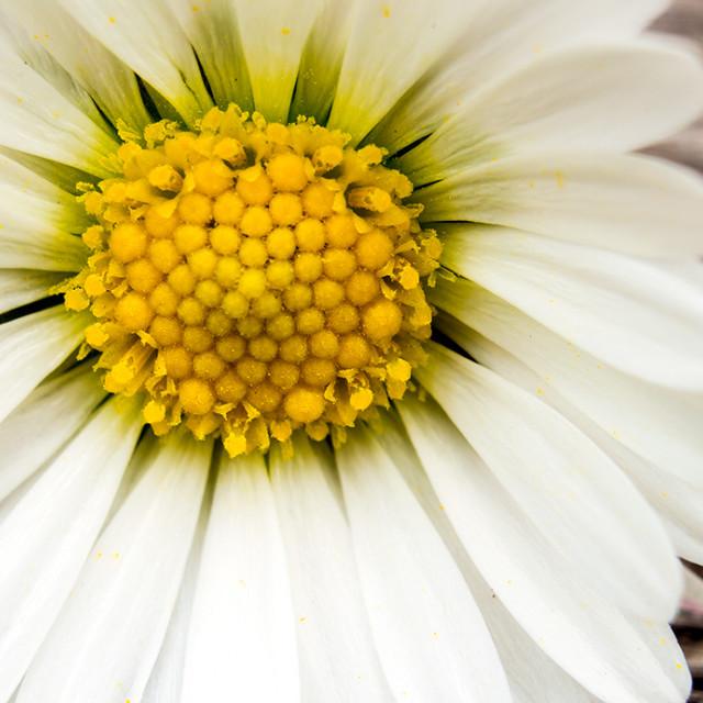 """""""Macro Daisy"""" stock image"""
