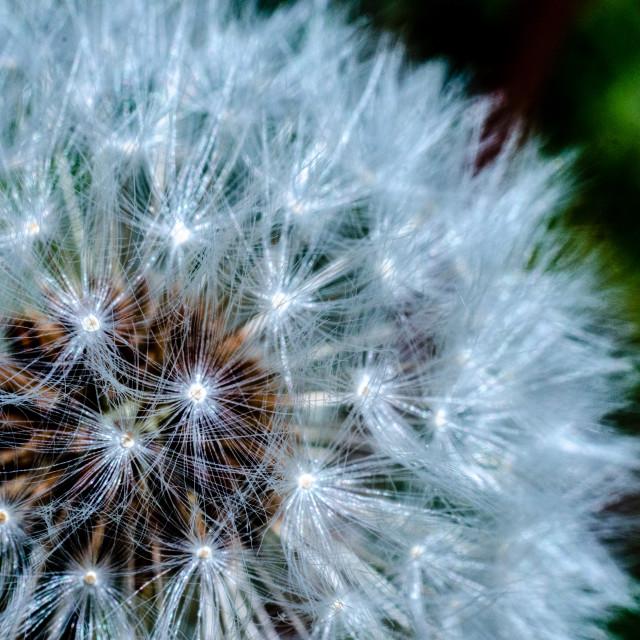 """""""Macro dandelion"""" stock image"""