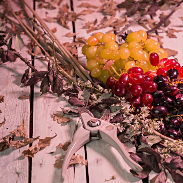 """Moody grapes"" stock image"