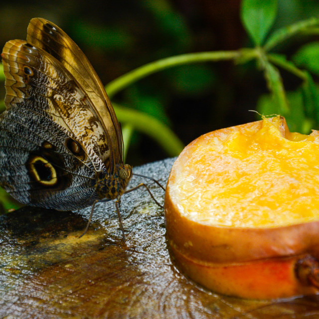 """Butterfly eating fruit"" stock image"