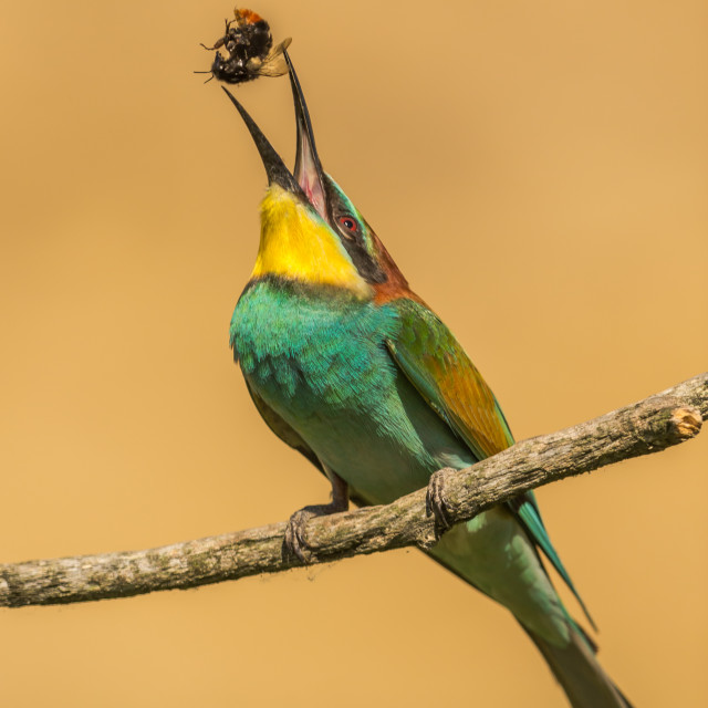 """Beeeater tossing bee"" stock image"