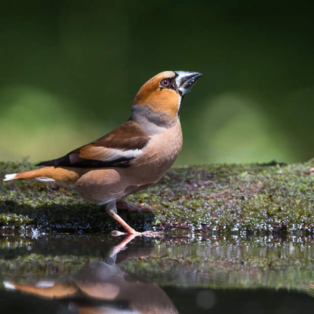 """Hawfinch drinking"" stock image"