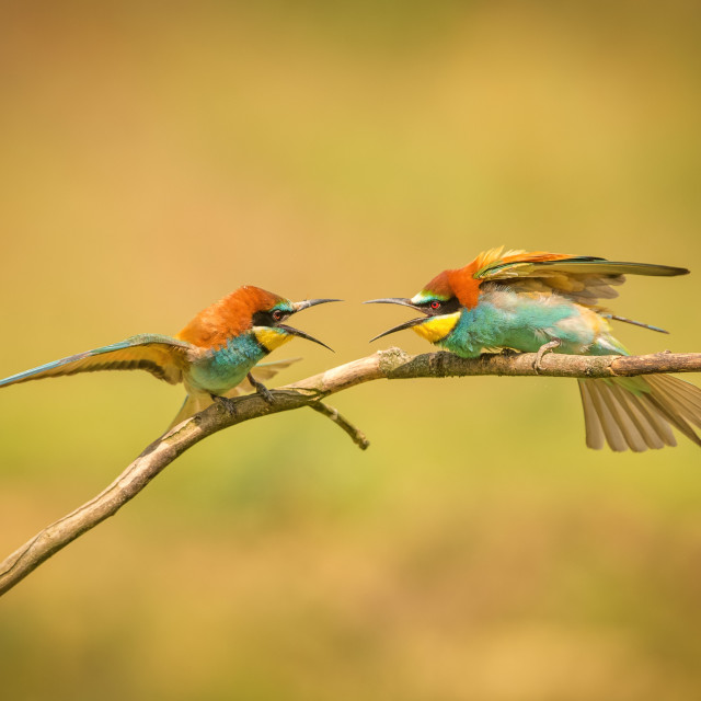 """Beeeater confrontation"" stock image"
