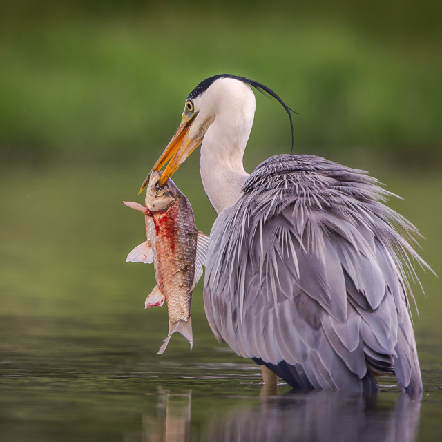 """""""Heron spearing fish"""" stock image"""