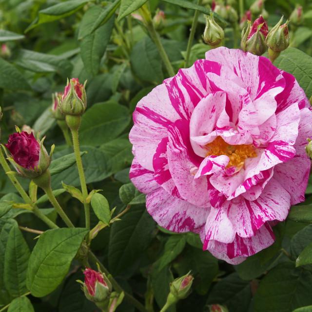 """""""Rosa gallica Versicolor"""" stock image"""