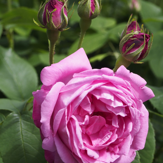 """""""Rose Coupe de Hebe"""" stock image"""