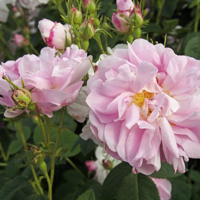 """""""Rose Damask Celsiana"""" stock image"""
