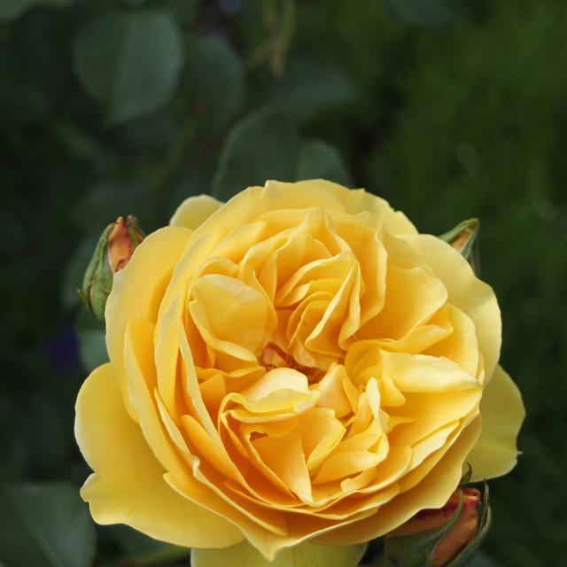 """""""Rose GrahamThomas"""" stock image"""