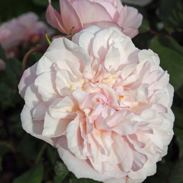 """""""Rose Tea Pink Gross an Aachen"""" stock image"""