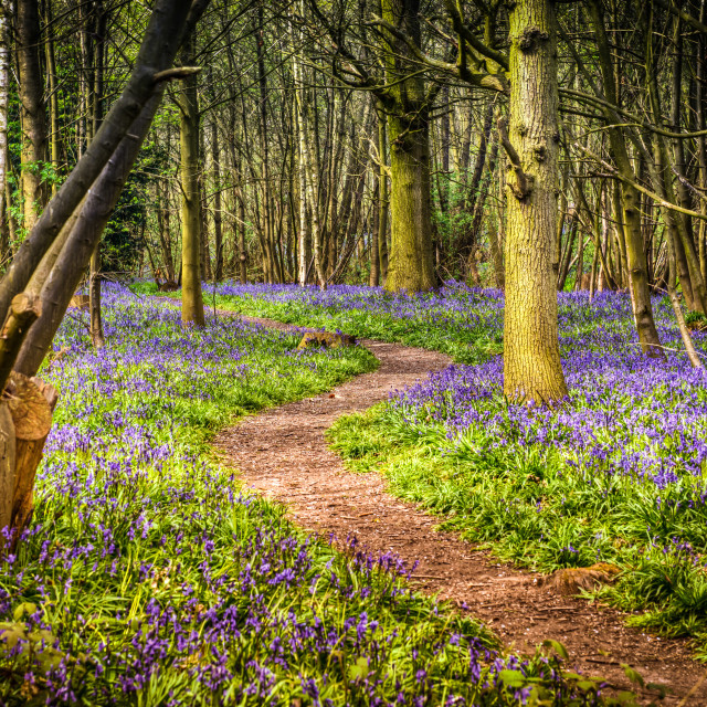 """Stunning Tranquil Spring Bluebell Walk"" stock image"