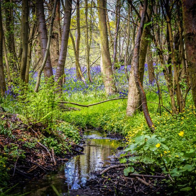 """""""Secret Springtime Bluebell Stream"""" stock image"""