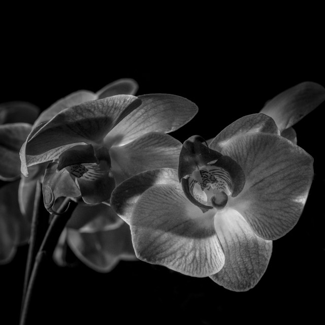 """Orchid Blooms B&W"" stock image"