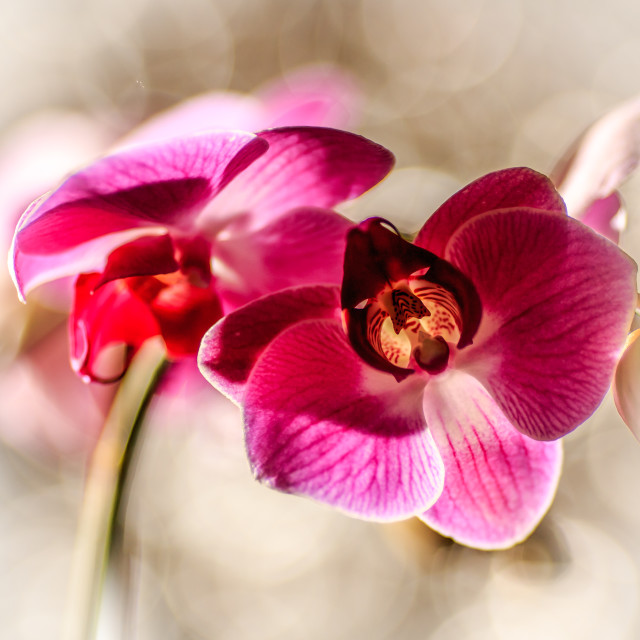 """Orchid Blooms"" stock image"