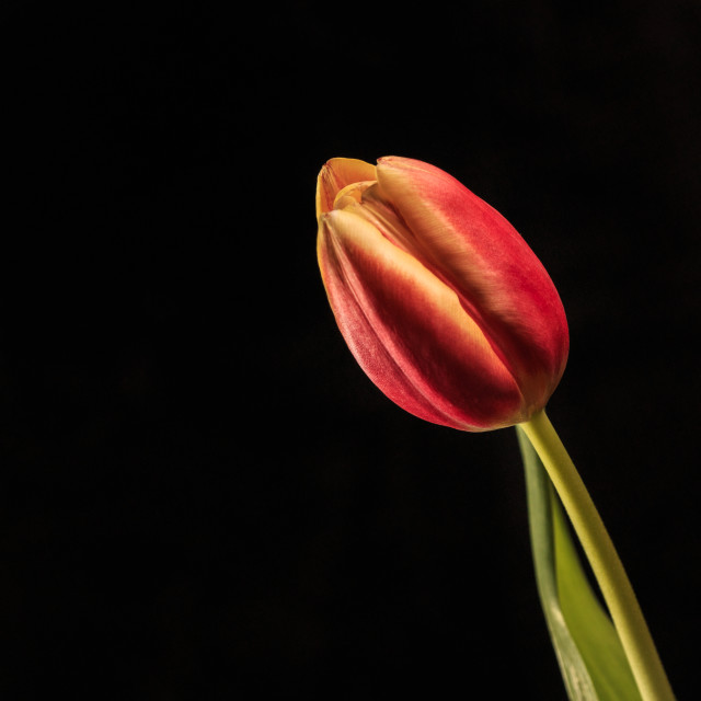 """Single Tulip Bloom"" stock image"