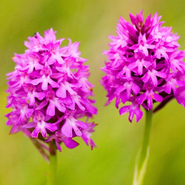 """Pyramidal Orchid"" stock image"