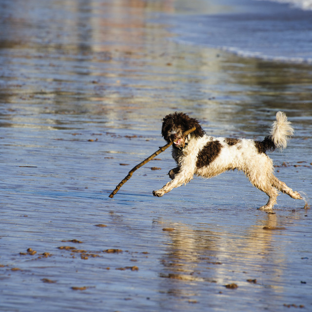 """""""Dog Playing With a Stick on Exmouth Beach"""" stock image"""