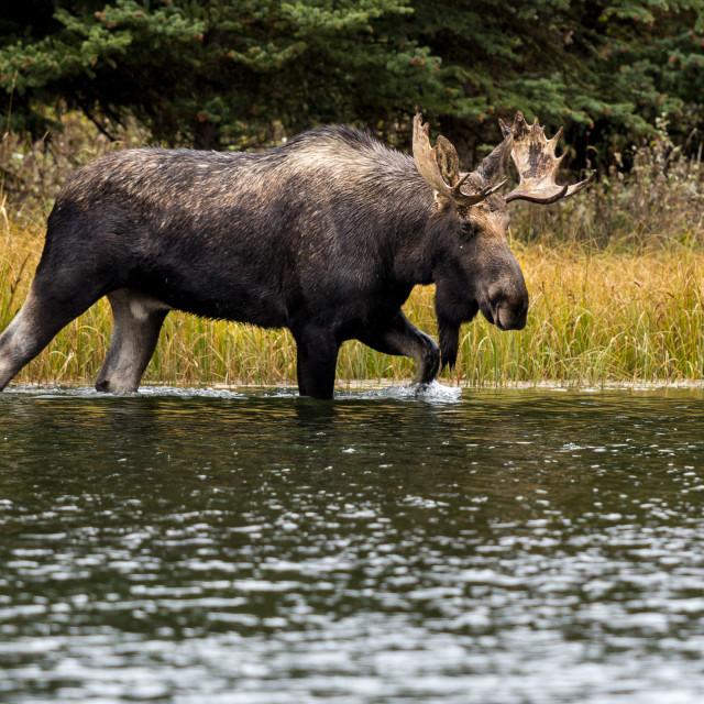 """""""Bull Moose in Pond"""" stock image"""