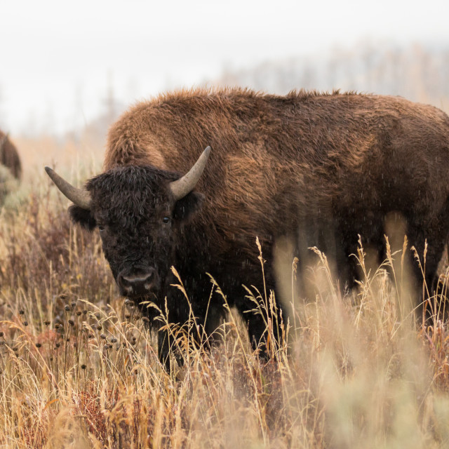 """Bison in the rain"" stock image"