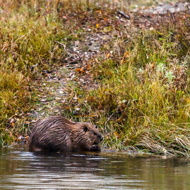"""Beaver on the edge"" stock image"