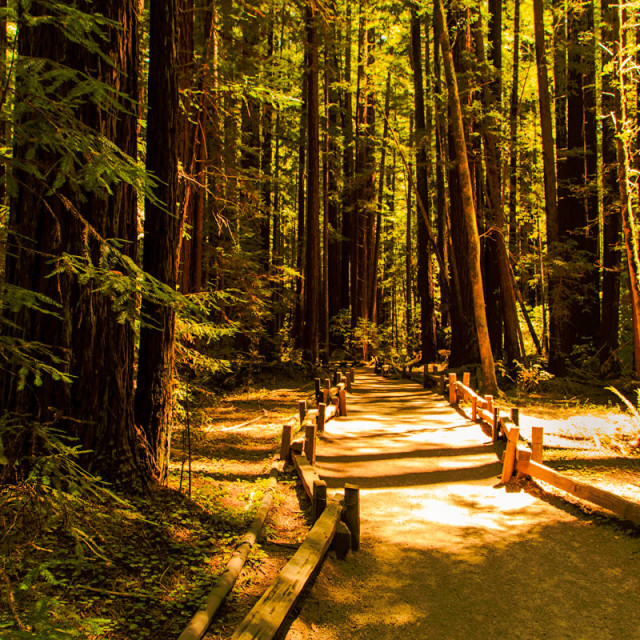 """Path thur the Redwoods"" stock image"