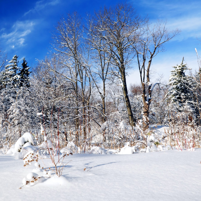 """Winter forest"" stock image"
