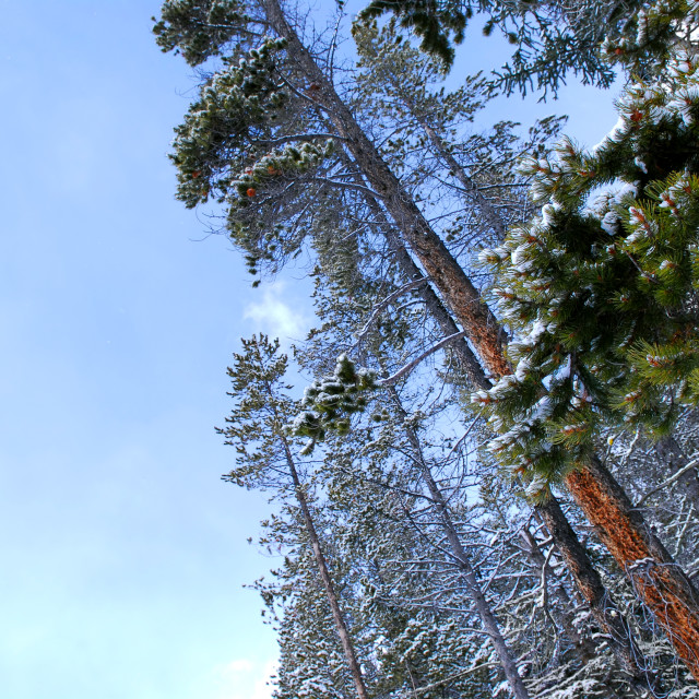 """Winter pine trees"" stock image"