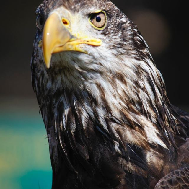 """Juvenile Bald Eagle"" stock image"