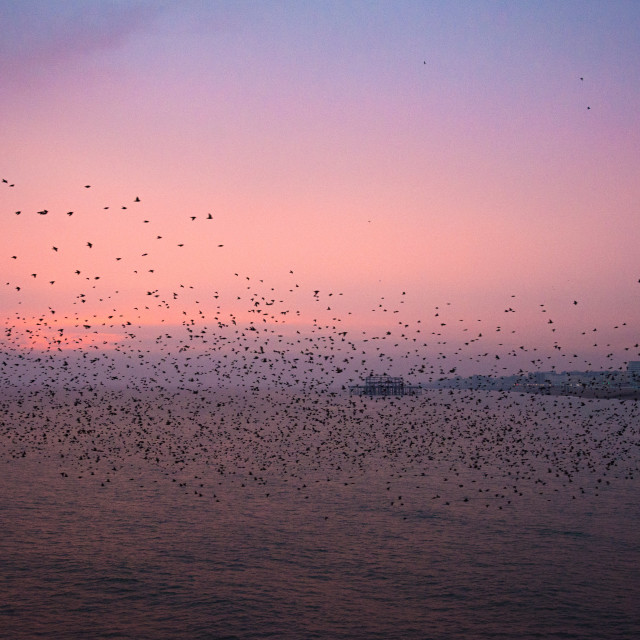 """The Brighton Murmuration"" stock image"