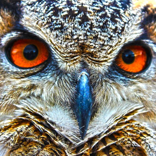 """Stunning Owl"" stock image"