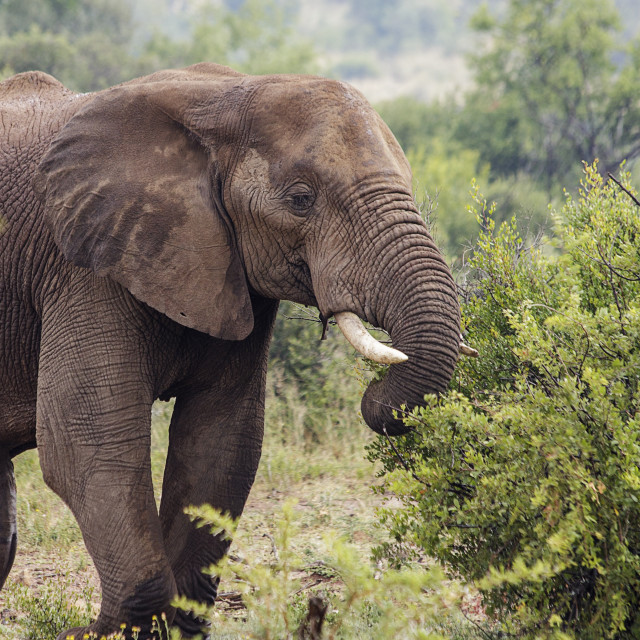 """""""African Elephant In The Wild"""" stock image"""