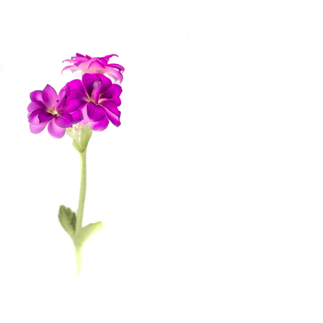 """Pink Flower High Key"" stock image"