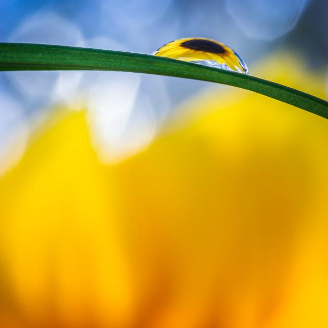 """Sunflower in Drop V"" stock image"